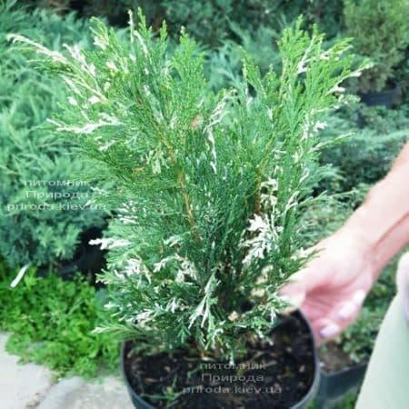 Кипарисовик нутканський Варієгата (Chamaecyparis nootkatensis Variegata) ФОТО Розплідник рослин Природа (1)
