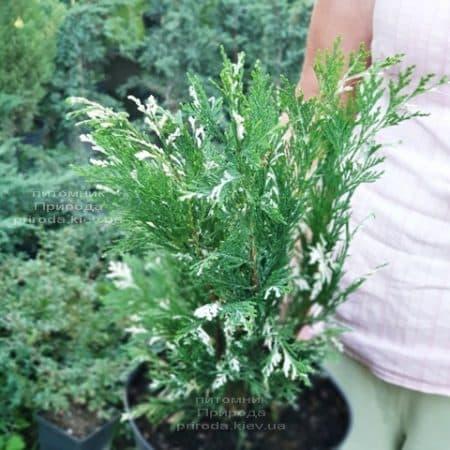 Кипарисовик нутканський Варієгата (Chamaecyparis nootkatensis Variegata) ФОТО Розплідник рослин Природа (2)