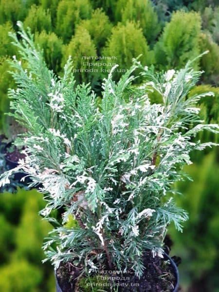 Кипарисовик нутканський Варієгата (Chamaecyparis nootkatensis Variegata) ФОТО Розплідник рослин Природа (6)