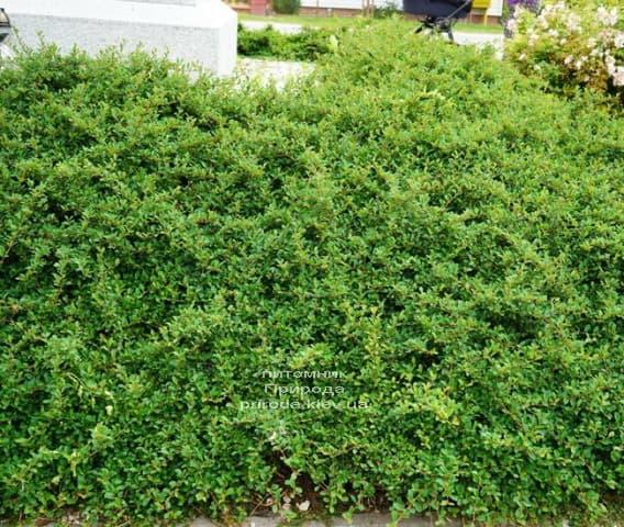 Кизильник Даммера Эйхольц (Cotoneaster radicans Eicholz) ФОТО (1)
