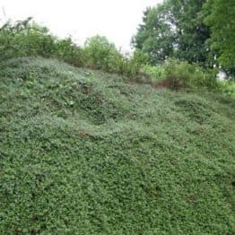 Кизильник Даммера Эйхольц (Cotoneaster radicans Eicholz) ФОТО (2)