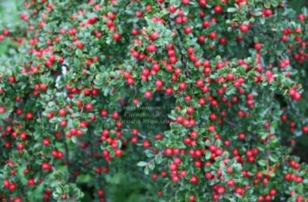 Кизильник Даммера Эйхольц (Cotoneaster radicans Eicholz) ФОТО (3)