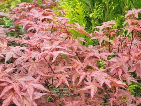 Клен японський Бені Майко (Acer palmatum Beni Maiko) ФОТО Розплідник рослин Природа (3)