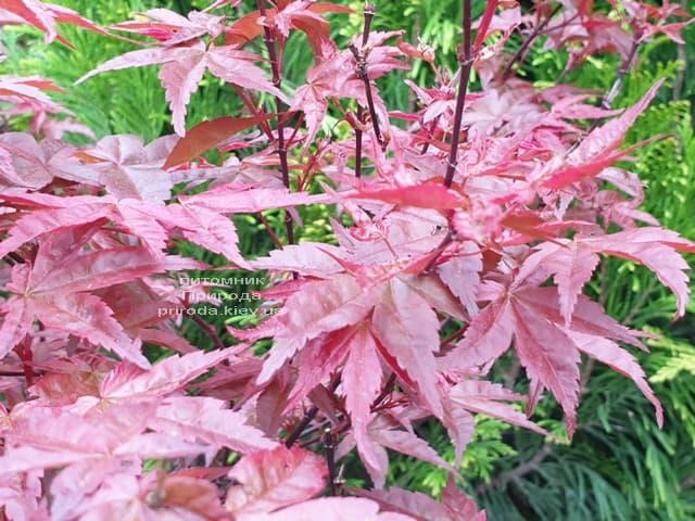 Клен японський Бені Майко (Acer palmatum Beni Maiko) ФОТО Розплідник рослин Природа (4)