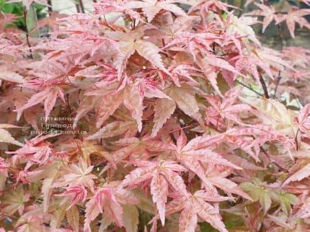 Клен японський Бені Майко (Acer palmatum Beni Maiko) ФОТО Розплідник рослин Природа (5)