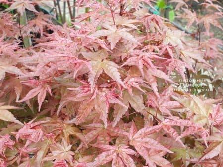Клен японський Бені Майко (Acer palmatum Beni Maiko) ФОТО Розплідник рослин Природа (6)