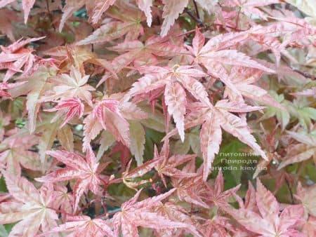 Клен японський Бені Майко (Acer palmatum Beni Maiko) ФОТО Розплідник рослин Природа (7)