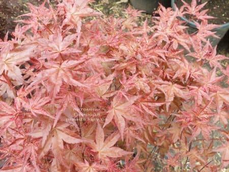 Клен японський Бені Майко (Acer palmatum Beni Maiko) ФОТО Розплідник рослин Природа (8)