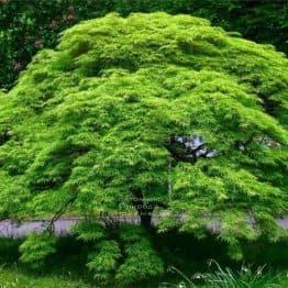 Клён японский Эмеральд Лейс (Acer palmatum Emerald Lace) ФОТО Питомник растений Природа (1)