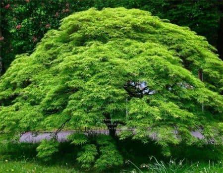 Клен японський Емеральд Лейс (Acer palmatum Emerald Lace) ФОТО Розплідник рослин Природа (1)