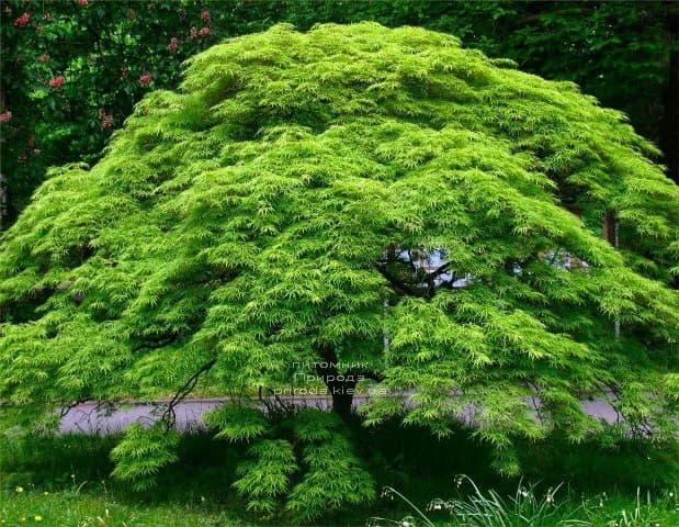 Клён японский Эмеральд Лэйс (Acer palmatum Emerald Lace) ФОТО Питомник растений Природа (1)