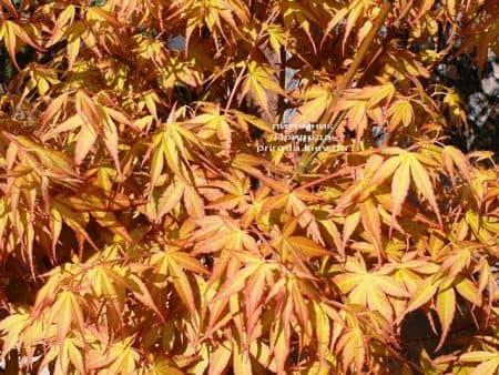 Клен японський пальмолістний віяловий Катсура (Acer palmatum Katsura) ФОТО Розплідник рослин Природа (4)
