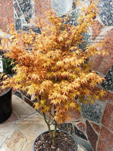 Клен японський пальмолістний віяловий Катсура (Acer palmatum Katsura) ФОТО Розплідник рослин Природа (6)