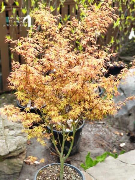 Клен японський пальмолістний віяловий Катсура (Acer palmatum Katsura) ФОТО Розплідник рослин Природа (7)