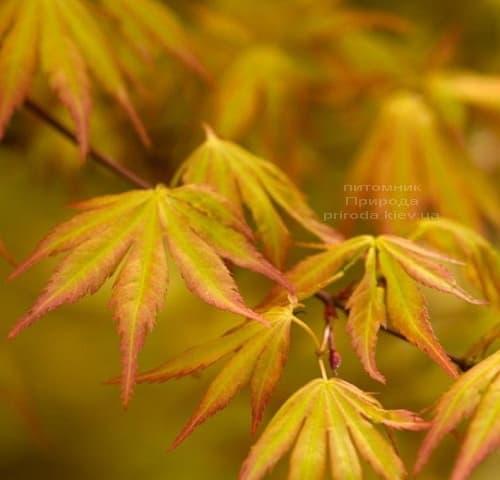 Клен японський Оранж Дрім (Acer palmatum Orange Dream) ФОТО Розплідник рослин Природа (1)