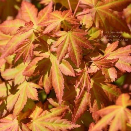 Клен японський Оранж Дрім (Acer palmatum Orange Dream) ФОТО Розплідник рослин Природа (2)