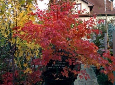 Клен японський Оранж Дрім (Acer palmatum Orange Dream) ФОТО Розплідник рослин Природа (3)