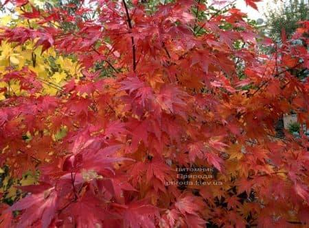 Клен японський Оранж Дрім (Acer palmatum Orange Dream) ФОТО Розплідник рослин Природа (4)