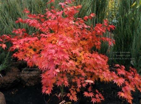 Клен японський Оранж Дрім (Acer palmatum Orange Dream) ФОТО Розплідник рослин Природа (5)