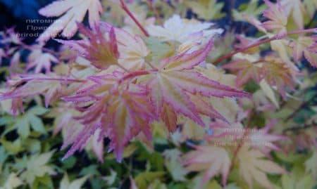 Клен японський Оранж Дрім (Acer palmatum Orange Dream) ФОТО Розплідник рослин Природа (6)
