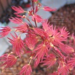 Клён японский Феникс (Acer palmatum Phoenix) ФОТО Питомник растений Природа (1)