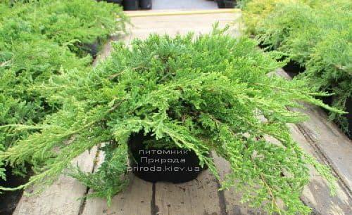Ялівець даурский Ленінград (Juniperus davurica Leningrad) ФОТО (1)