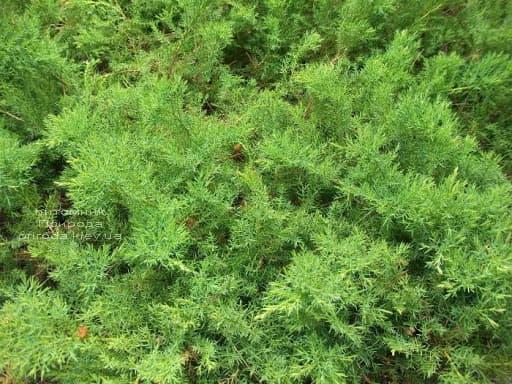 Ялівець даурский Ленінград (Juniperus davurica Leningrad) ФОТО (2)