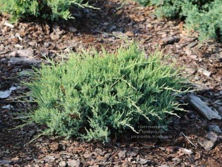 Можжевельник горизонтальный Агнешка (Juniperus horizontalis Agnieszka) ФОТО (1)