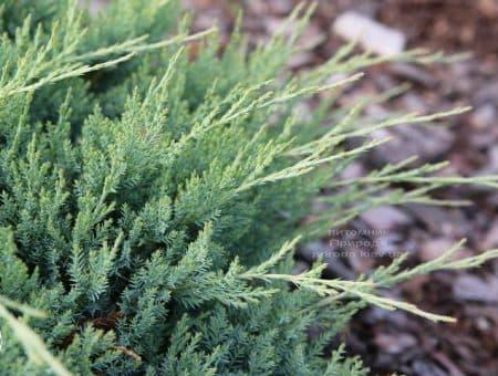 Можжевельник горизонтальный Агнешка (Juniperus horizontalis Agnieszka) ФОТО (2)