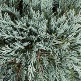 Можжевельник горизонтальный Гласиер (Juniperus horizontalis Glacier) ФОТО (1)
