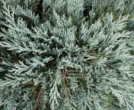 Ялівець горизонтальний Гласіер (Juniperus horizontalis Glacier) ФОТО (1)