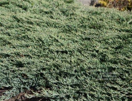 Можжевельник горизонтальный Гласиер (Juniperus horizontalis Glacier) ФОТО (3)