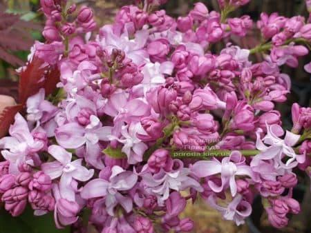 Бузок Богдан Хмельницький (Syringa vulgaris Bogdan Khmelnitskiy) ФОТО Розплідник рослин Природа (10)