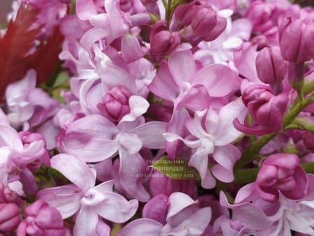 Бузок Богдан Хмельницький (Syringa vulgaris Bogdan Khmelnitskiy) ФОТО Розплідник рослин Природа (11)