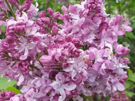 Бузок Богдан Хмельницький (Syringa vulgaris Bogdan Khmelnitskiy) ФОТО Розплідник рослин Природа (13)