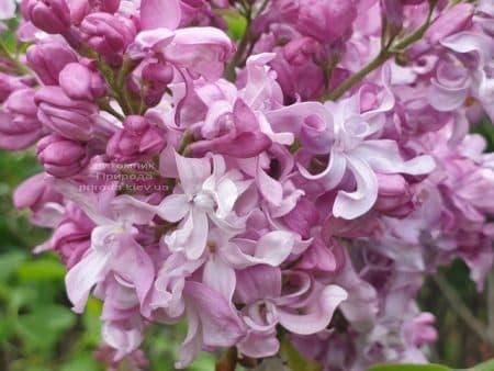 Бузок Богдан Хмельницький (Syringa vulgaris Bogdan Khmelnitskiy) ФОТО Розплідник рослин Природа (8)