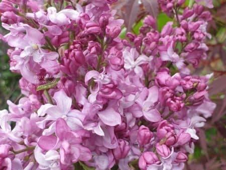 Бузок Богдан Хмельницький (Syringa vulgaris Bogdan Khmelnitskiy) ФОТО Розплідник рослин Природа (9)