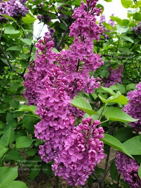 Сирень обыкновенная Индия (Syringa vulgaris Indiya) ФОТО Питомник растений Природа (2)