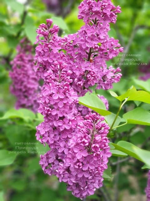 Сирень обыкновенная Индия (Syringa vulgaris Indiya) ФОТО Питомник растений Природа (3)