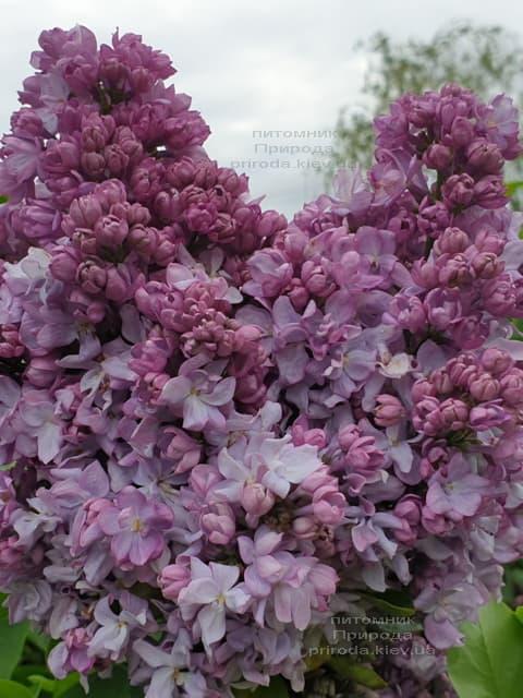 Бузок Кетрін Хавемейер (Syringa vulgaris Kathrine Havemeyer) ФОТО Розплідник рослин Природа (10)