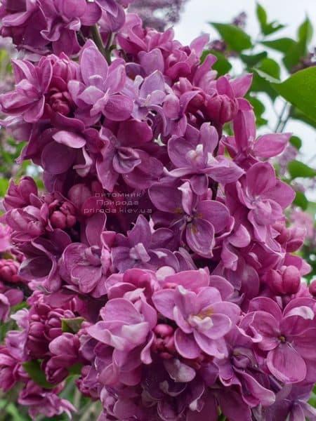 Бузок Кетрін Хавемейер (Syringa vulgaris Kathrine Havemeyer) ФОТО Розплідник рослин Природа (11)