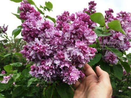 Сирень Кэтрин Хавемейер (Syringa vulgaris Kathrine Havemeyer) ФОТО Питомник растений Природа (18)