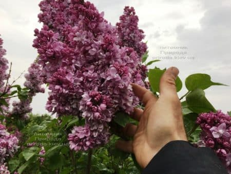Сирень Кэтрин Хавемейер (Syringa vulgaris Kathrine Havemeyer) ФОТО Питомник растений Природа (19)