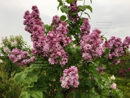 Сирень Кэтрин Хавемейер (Syringa vulgaris Kathrine Havemeyer) ФОТО Питомник растений Природа (20)