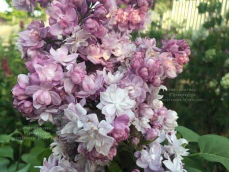 Бузок Кетрін Хавемейер (Syringa vulgaris Kathrine Havemeyer) ФОТО Розплідник рослин Природа (21)