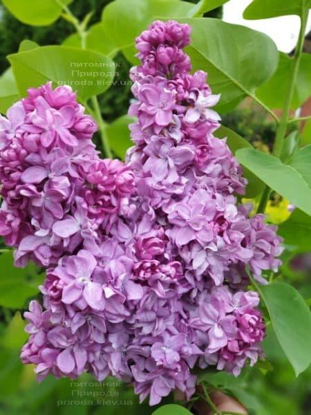 Бузок Кетрін Хавемейер (Syringa vulgaris Kathrine Havemeyer) ФОТО Розплідник рослин Природа (9)