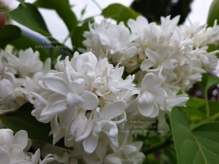 Бузок Леся Українка (Syringa vulgaris Lesya Ukrainka) ФОТО Розплідник рослин Природа (10)