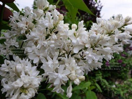 Бузок Леся Українка (Syringa vulgaris Lesya Ukrainka) ФОТО Розплідник рослин Природа (7)