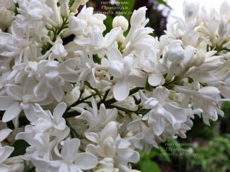 Бузок Леся Українка (Syringa vulgaris Lesya Ukrainka) ФОТО Розплідник рослин Природа (8)
