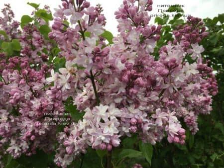 Сирень Мадам Антуан Бюхнер (Syringa vulgaris Mme Antoine Buchner) ФОТО Питомник растений Природа (13)